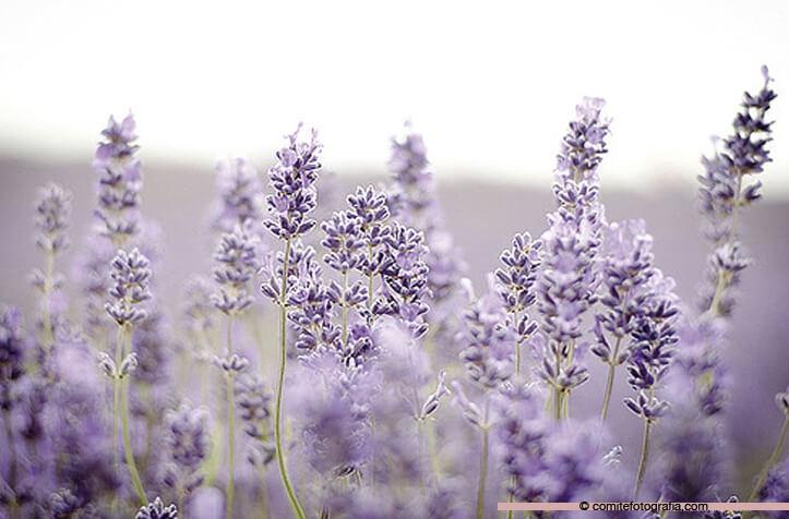 lavanda-flor-723x476