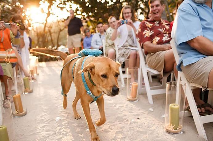perro llevando anillos boda-691 x 456